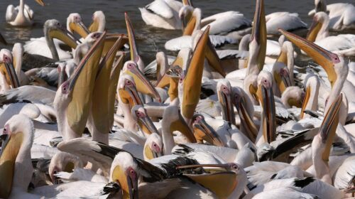 Senegal Restricts Public Access To Major Park Following Deaths Of 750 Pelicans 1 500x280